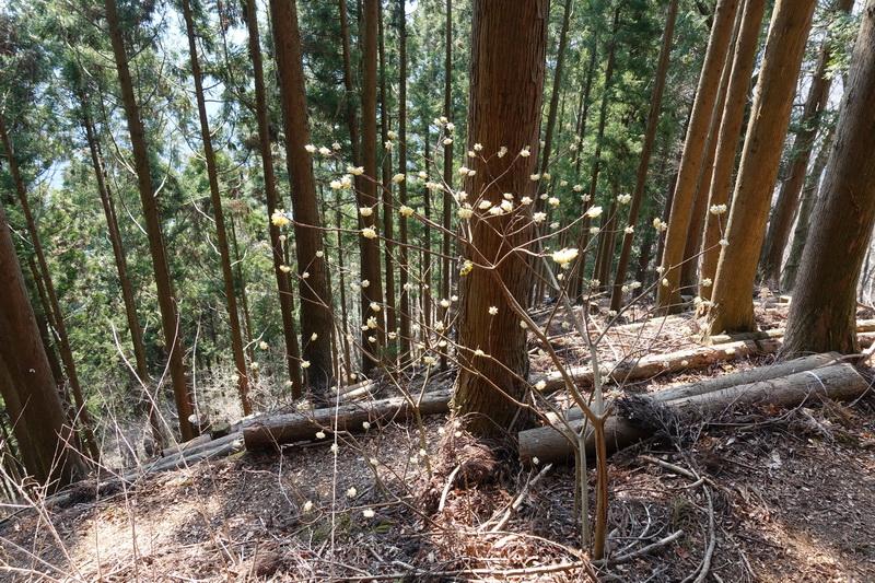 丹沢・ミツバ岳・登山道・ミツマタの花