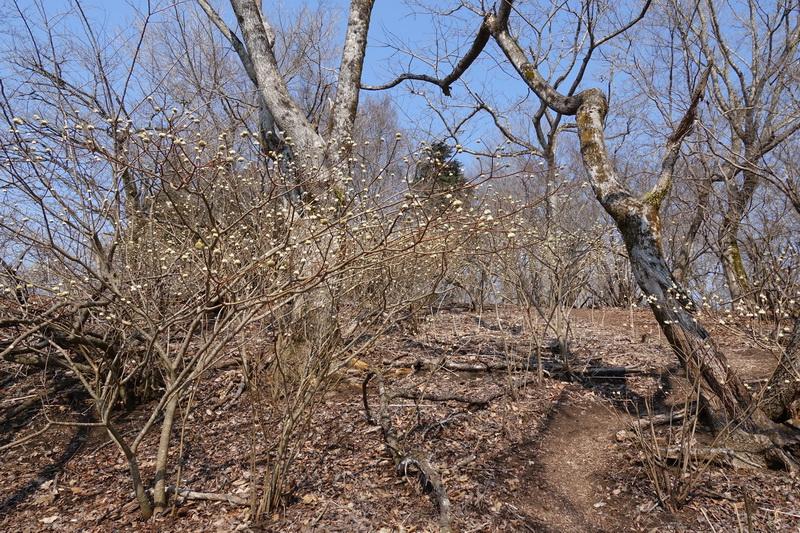 丹沢・ミツバ岳・山頂付近のミツマタ