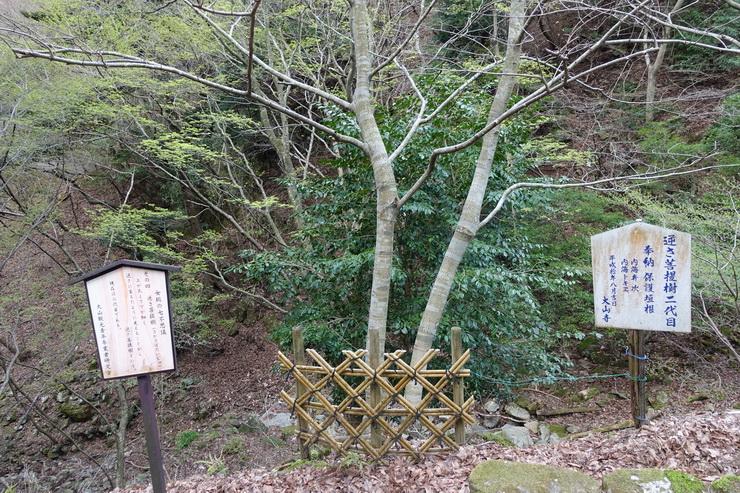 丹沢・大山・女坂七不思議(逆さ菩提樹)